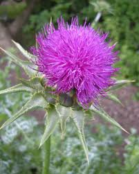 Blessed Thistle and Its Benefits
