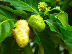 How Effective is Noni Fruit Juice in Fighting Cancer?