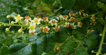 Boswellia, an herb to help breathing problems