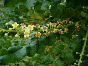How Boswellia Counters Inflammation – The Root of All Chronic Diseases