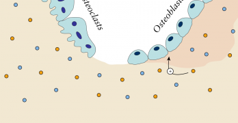 OsteoBlasts and OsteoClasts, Do You Know What These Are?