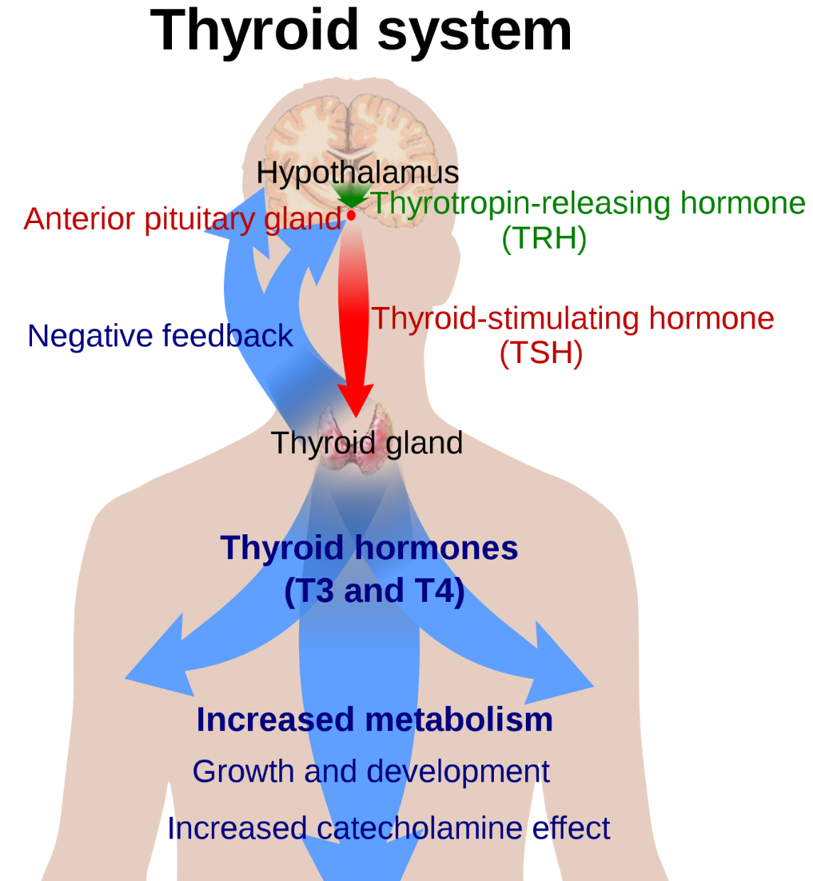 Do You Know The Importance Of Iodine And Your Thyroid?