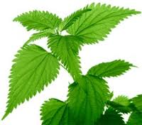 What Is the health Benefits Of Nettle Leaves?