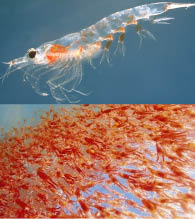 Krill Oil – Magnifying Your Brain's Abilities!