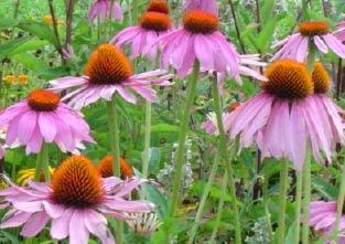 echinaceaflower