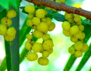 Amalaki or Indian Gooseberry