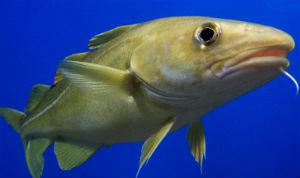 cod fish liver