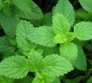 Benefits Peppermint Oil
