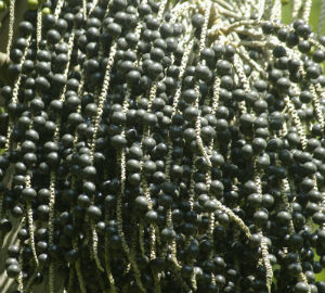 HEALING PROPERTIES OF ACAI BERRY FRUIT