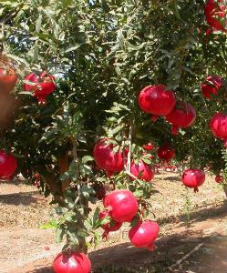Pomegranate)