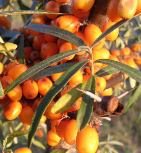 buckthorn plant