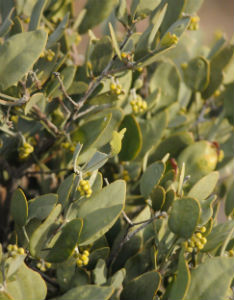 jojoba plant and its uses Promulgated and propagated by its own common name, jojoba oil' in fact   present only on the surface layers of animal skin and plant leaves  the  seventh international conference on jojoba and its uses, american oil chemists ' society.