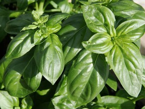 How Basil Helps in Reducing Cortisol Levels in the Body