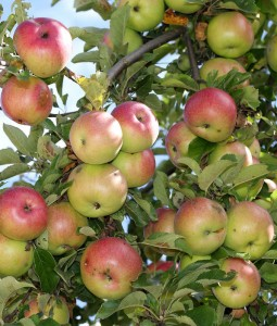 Can Apple Pectin Help Reduce Cholesterol Levels?