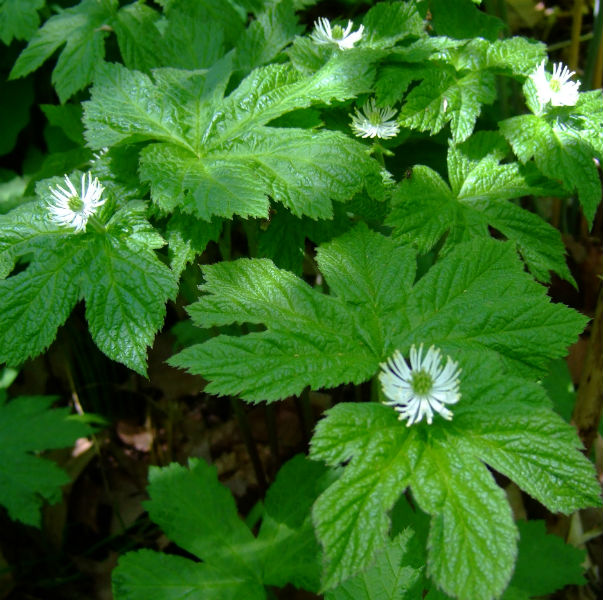 How Goldenseal Root Helps Fight Colds Vitamins And Their