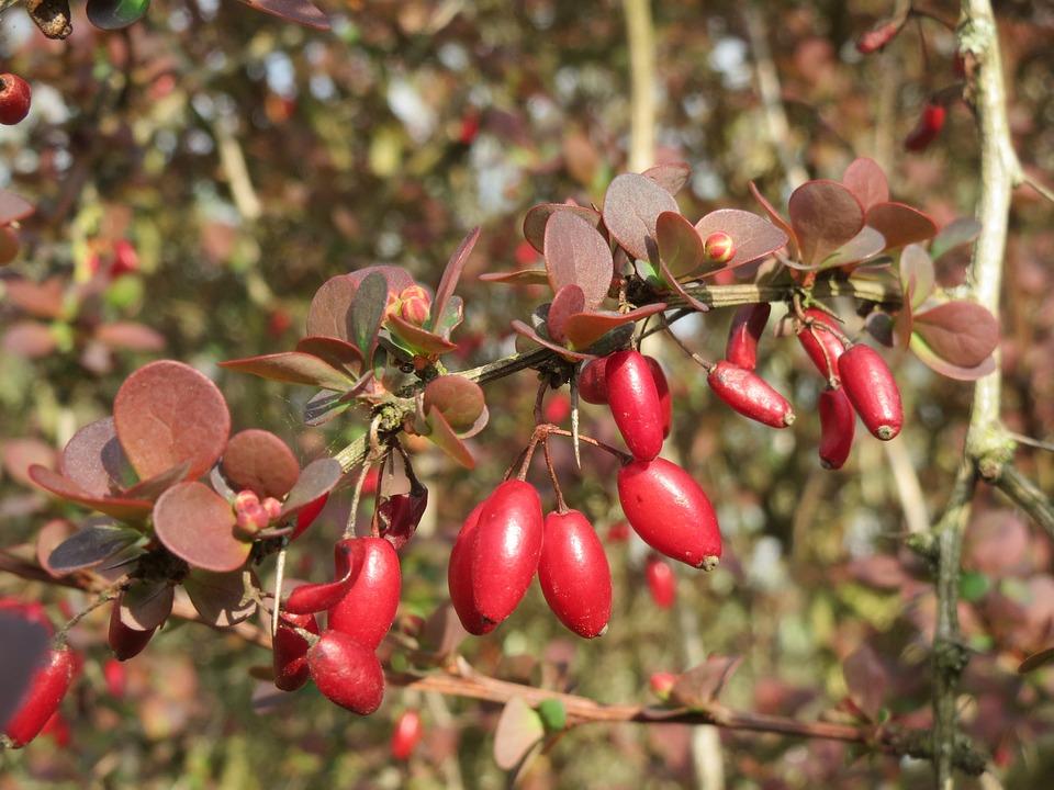 Can berberine help manage blood sugar levels?