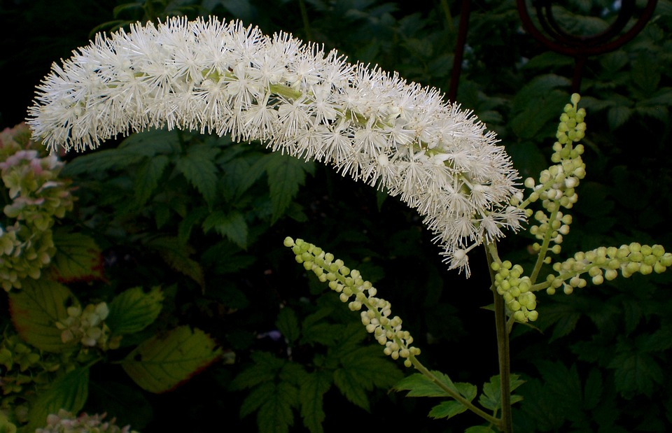 Black Cohosh Helps with Menopause