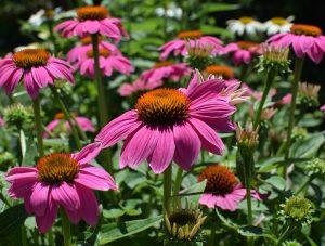 Did You Know Echinacea Angustifolia Can help Reduce Stress?