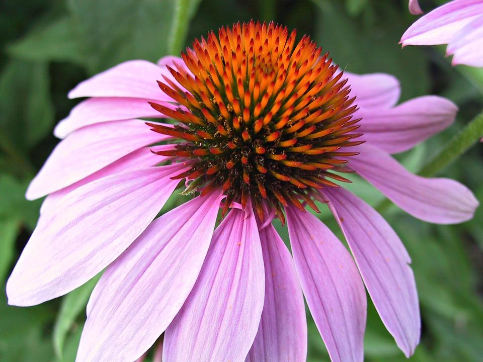 7 Popular Uses of Echinacea