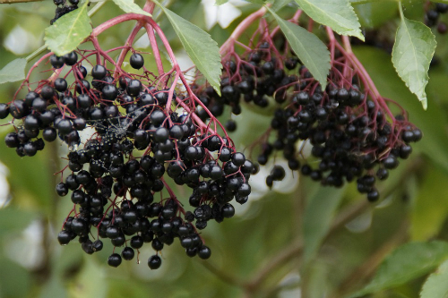 Elderberry Is a Centuries Old Tradition for immune Support