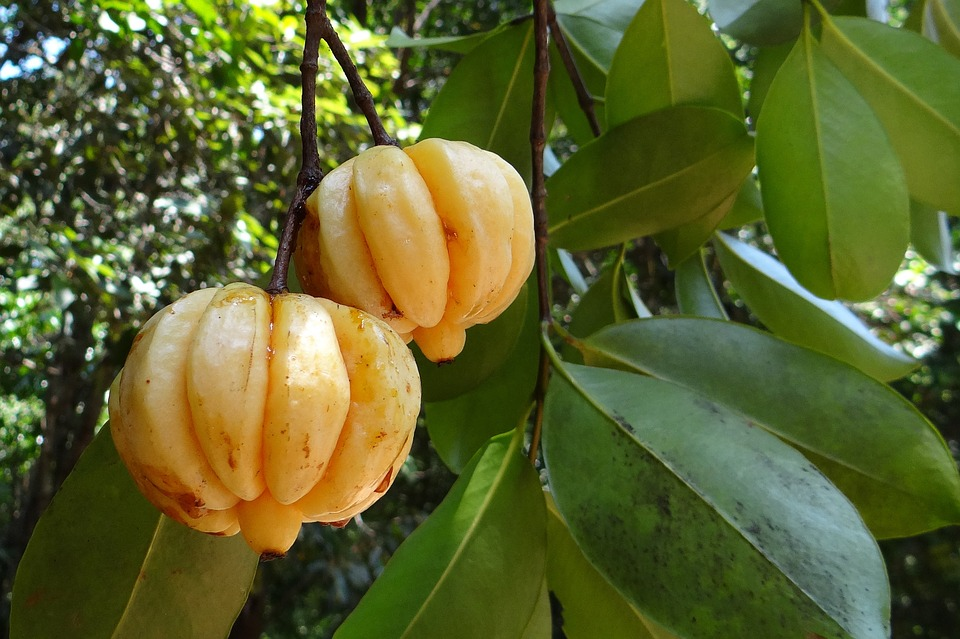 How Does Garcinia Cambogia Help You Loose Weight?