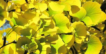 Ginkgo Biloba Extract May Boost Brain Health