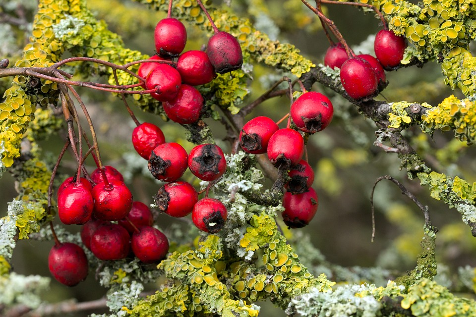 How Hawthorn Berry Helps Fight Cardiovascular Diseases