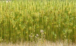Non-Cannabis Phytocannabinoids That Affect the Endo-Cannabinoid System