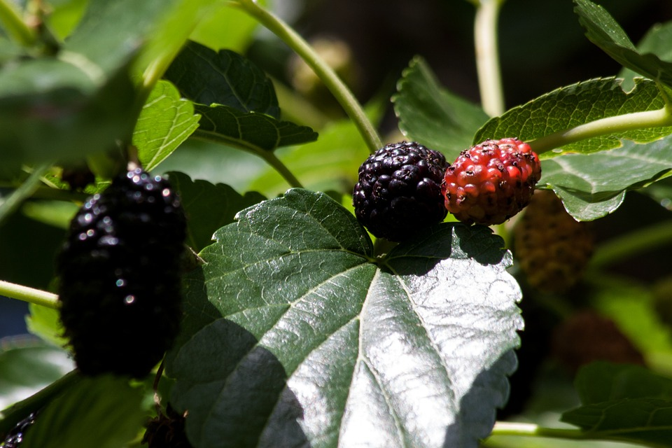 Support Healthy Blood Sugar Levels with Mulberry Extract