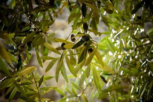 Winterize Your Health with Olive Leaf Extract