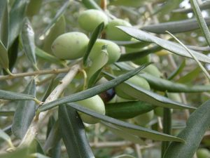 Olive Leaf Extract, A Heart Helper