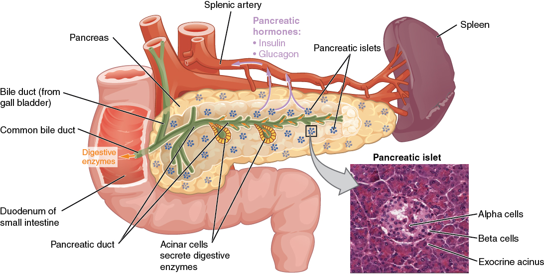What You May Not Know About Your Pancreas