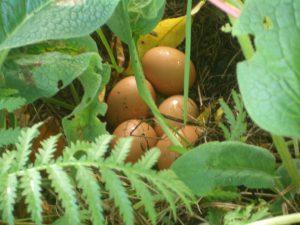 pastured-eggs