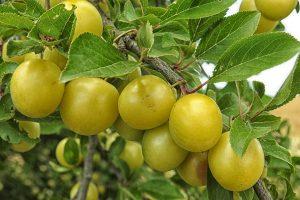 How Does Kakadu Plum Enhance Skin Health