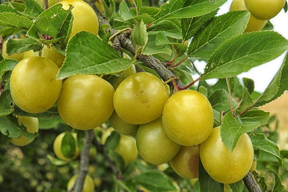 Kakadu plum benefits