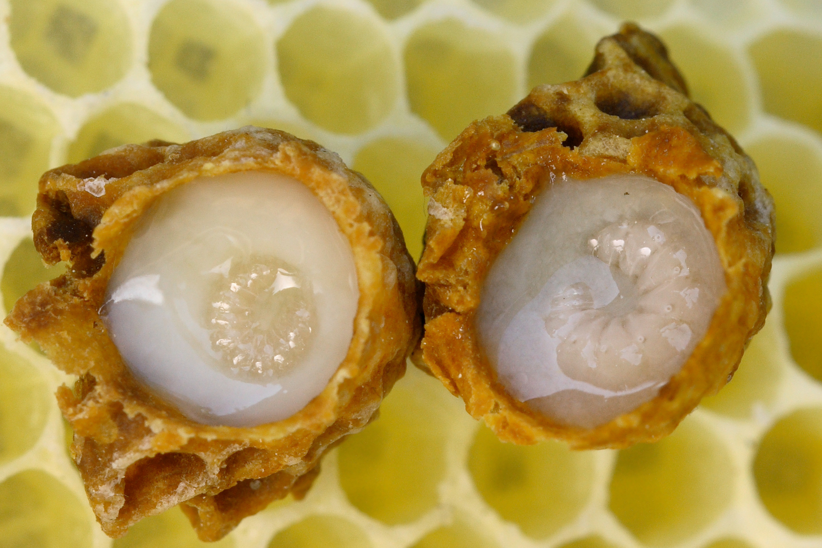 Boost Energy with Royal Jelly