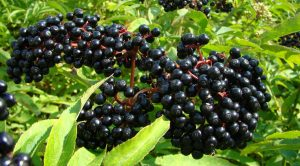 Stop Cold And Flu In Their Tracks With Elderberry