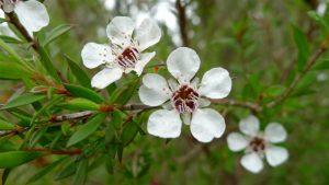 tea-tree-flower