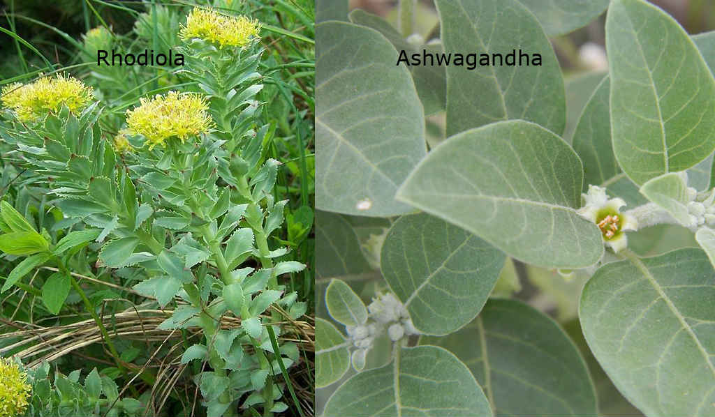 Cope with Stress and Reduce Fatigue with Ashwagandha and Rhodiola